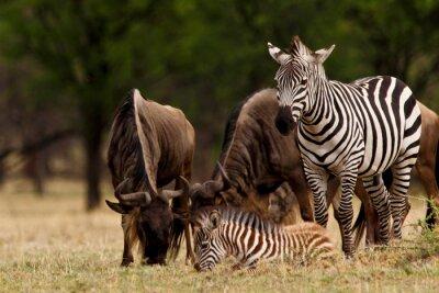 Plakat Zebra i gnu