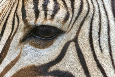Plakat Zebra oko z bliska