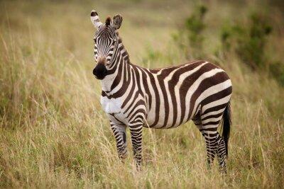 Plakat Zebra standing in long grass