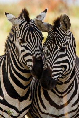 Plakat Zebra znajomych