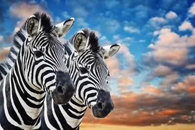 Plakat Zebry na wolności