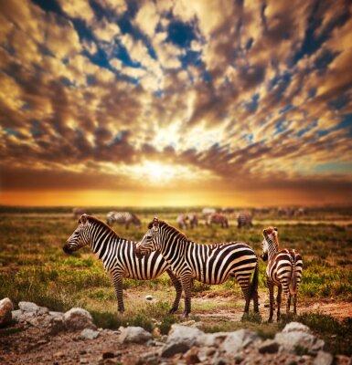 Plakat Zebry stado na afrykańskiej sawanny o zachodzie słońca. Safari w Serengeti