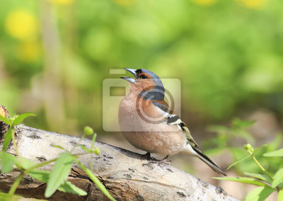 Zięba śpiewa piosenkę stojąc na dziennik w wiosnę