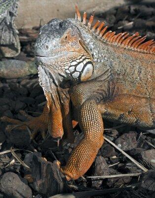 Plakat Zielona iguana