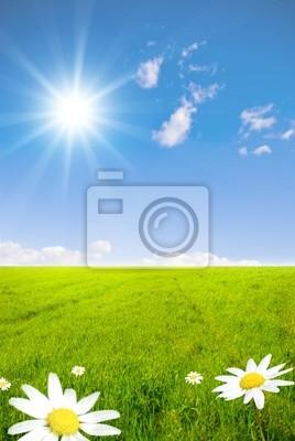 Plakat Zielone pole z kwiatów rumianku i Sunray