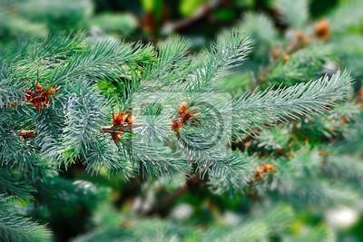 zielony, drzewo, gałęzie jodły lub sosny