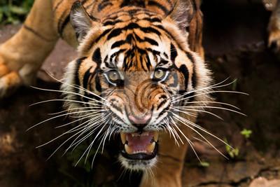 Plakat zły tygrys sumatrzański