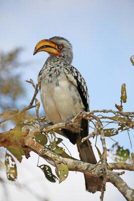 Plakat żółty Dzioborożec zafakturowane. dzikich zwierząt w Parku Narodowym Krugera w RPA.
