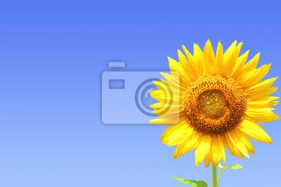 Żółty słonecznik na tle błękitnego nieba