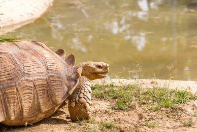 Plakat Żółw pustynny bliska. Ten Sulcata żółwia zamieszkuje od Sahary, w północnej Afryce i arabskiej pustyni w Egipcie.