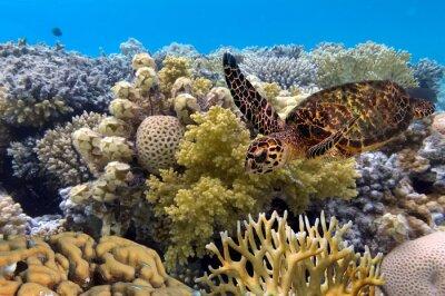 Plakat Żółw zielony pływania w niebieskim oceanie, wielki Barrier Reef