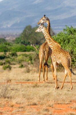 Plakat Zwei Giraffen in der Landschaft von der weite Kenii.