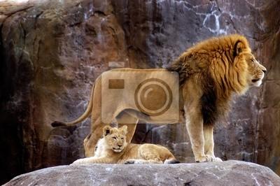 Plakat zwierzęta - lew afrykański ( Panthera leo krugeri )
