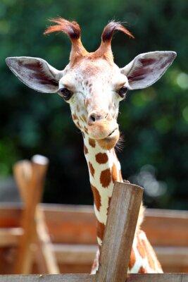 Plakat Żyrafa..