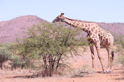 Plakat Żyrafa jedzenia w rezerwie Pilanesburg