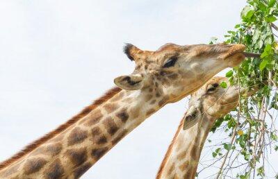 Plakat Żyrafa jedzenie liści