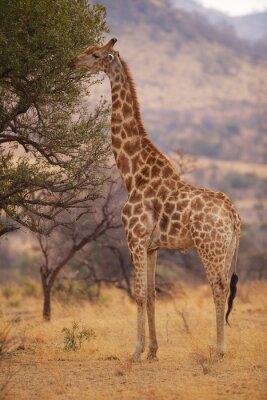 Plakat Żyrafa jedzenie liści z drzewa