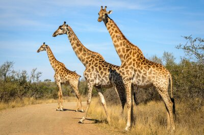 Plakat Żyrafa - Kruger Park - Sudáfrica