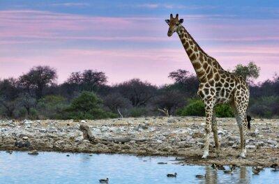 Plakat Żyrafa o zachodzie słońca