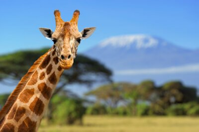 Plakat Żyrafa przed Kilimanjaro góry