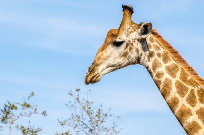 Plakat Żyrafa, safari, Kruger Park - Sudáfrica