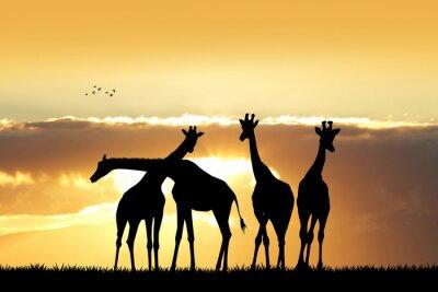 Plakat Żyrafa sylwetka o zachodzie słońca
