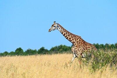 Plakat Żyrafa w afrykańskiej sawannie