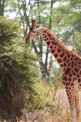 Plakat Żyrafa w Amboseli, Kenia