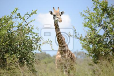Plakat Żyrafa w buszu