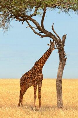 Plakat Żyrafa w Masai Mara