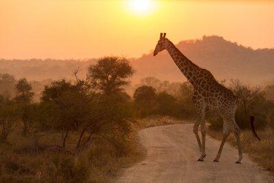 Plakat Żyrafa w Parku Narodowym Krugera Sunrise