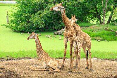 Plakat żyrafy
