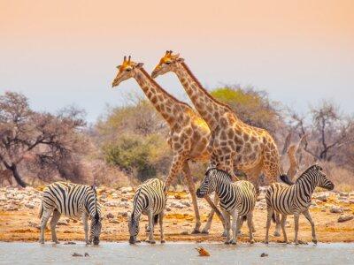 Plakat Żyrafy i zebry w wodopoju