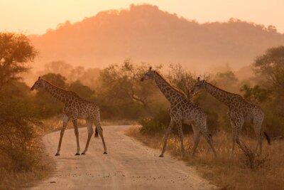 Plakat Żyrafy o wschodzie słońca