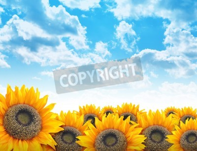 A beautiful yellow sunflower field with bright blue clouds in the sky. Add your text to the copyspace. Use it for a nature, environment or flower concept background.