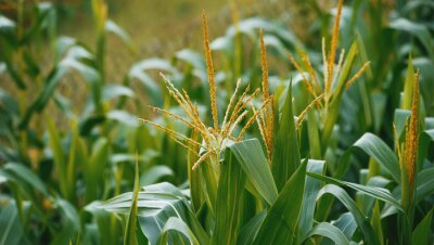 Agriculture concept. Photo of a corn plant field, with focus on some plants