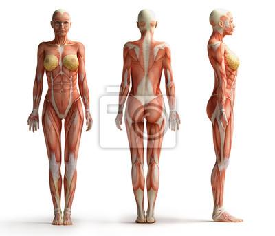 Tapeta Anatomia widok żeński