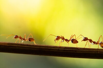 Tapeta Ant action standing.Ant bridge unity team carry food Concept team work together
