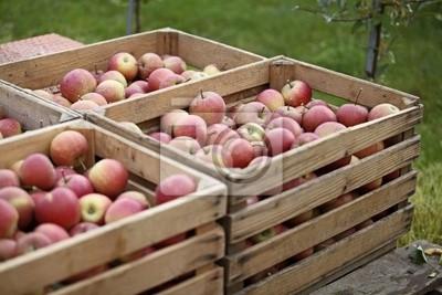Tapeta Apfelernte, Äpfel w Kisten