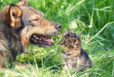 Big dog meeting stray kitten