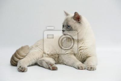 Tapeta Brytyjski Kot Z Niebieskimi Oczami Tło Zwierzęcy Piękny