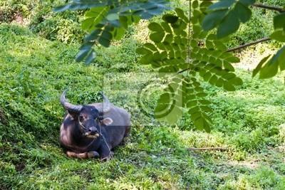 Buffalo w użytkach zielonych w Tajlandii