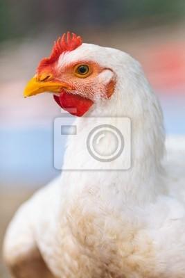 Tapeta Chicken, portret zbliżenie