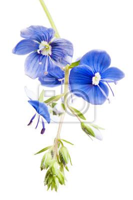 Ciemny niebieski kwiat pole, to jest izolowana na białym tle