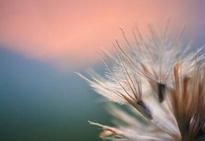 Tapeta Close up of a dry dandelion