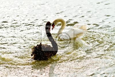 Czarny i biały łabędź walki