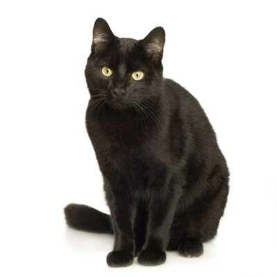 Tapeta Czarny Kot żółty Czarny Zwierzęcy Redropl