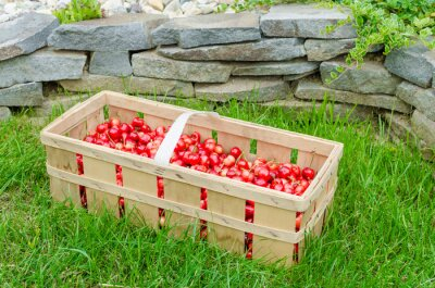 czereśnie organicznych z bio ogrodzie