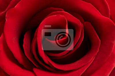 Czerwona róża kwiat