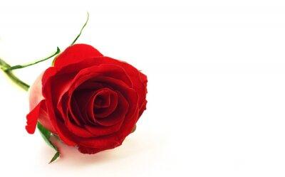 Czerwony kwiat róży